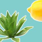 lemon agave natural recipe for skin care