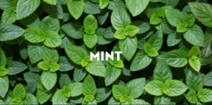 mint under eye dark circles remedy 300x148 - Natural Remedies For Dark Circles